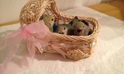 SWEET LOVEBIRDS WEANED, FEATHERED AND READY TO FLY INTO YOUR HEART. THEIR FOOD IS INCLUDED WONDERFUL FAMILIES NEEDED TO LOVE THESE BABIES NO SHIPPING, MUST BE PICKED UP