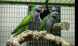 10-15 yr old mother/son pair. They have been together forever and really enjoy each others company. Male is more talkative than female. Need work with handling. They do not come with a cage. Pic is not of actual birds but they look identical. This ad was