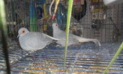 healthy diamond dove 4sale please call 407-340-7841 thanks. $15 each or 2x 25