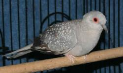 Diamond Dove Pair!! Male and Female ( Young ) Gray and White with orange ring on the eyes. Asking price is $20.00 for both. Mel. Contact: 408-513-5949