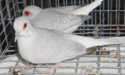 3 silver white tail diamond doves,4 white doves all 7 doves for $30. No cages included. Please bring a carrier. I will only meet in a public area. text or e-mail only 602-614-5287