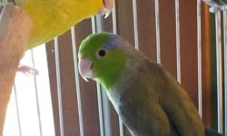 this is a dilute turquoise parrotlet hen hatched early 2014