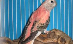 Parent Raised (parents feed all chicks) DNA'd HEN Jan. 2012 Hatch DATE Nice strong deep Hot pink color. Lime Green Split Band My birds are eating a nice mix of veggies,Roudybush Crumbles, Herman Brothers Linnie Mix. Quicko Exotic Eggfood Price $125 Paypal