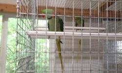 Olive green indian ringneck.. For sale only handfeeding at night a 75.00 deposit is required to hold till finished weaning (about a week) remaining 200.00 due at pick up will be weaned onto a seed/pellet/fresh fruit /veggie diet