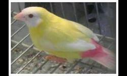 DNA BREEDER. 9 YEARS. Healthy and fully feathered. We ship at buyers expense. Paypal excepted buyer pays fee