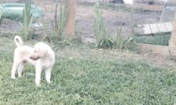 livestock guardians, Anatolian Shepherd pups full blooded,AKC ask <<<<<<<<<<<<<<<<<<<<<<<<< Ducks, Rouens, Cayuga, young $5 <<<<<<<<<<<<<<<<<<<<<<<< Chickens, young and pullets $3-$5 <<<<<<<<<<<<<<<<<<<<<<<<< First batch of pond raised gold fish and koi