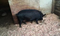 Dixie is a domestic pig she is a pet pig right now but she needs to be sold I am asking 500 but I will Negotiate for a better Price she could be the perfect pig for a petting zoo or just for your kids she is sweet kinds and loving she is pushing 300