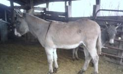 "Big Jack is a grey donkey with a stripe across back. He is a jack. He stands 47"" tall. Will be about 10y/o. Very gentle, easy to handle, people/kid friendly. Loves attention. Halter broke, leads good. $250 573-729-4839"