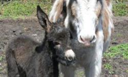 MINIATURE+ DONKEY DOB: April 1, 2014 Colt Charcoal Gray w/ Black Cross Mother: 41? Spotted Donkey Father: 36? Spotted Donkey Sale Price: $300.00 Deposit to Secure: $100.00 Ready to go home with you now! More pictures upon request!