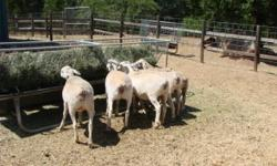 I have 7 Dorper ewe lambs that will be ready to breed this fall. They were all born the first week of January. These girls are all out of Dorper ewes I purchased from Wes Patton and Sired by a ram also from the Patton ranch. If you know Dorper breeding