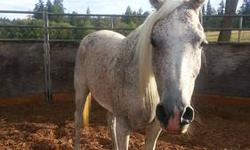 Just in time for Christmas. May is a double registered paint/arab mare. she is 15.3h and 15 yrs. Beautiful coloration and disposition. Very sweet. Well Broke and sound. She is a great horse for your 4H er or just to have a great ride. Come see her and try