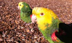 very bonded and ready to breed they are also handtame and love to eat from your dish will be selective with future owner in perfect health and feather love to hang out with you and go to the park~