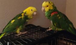calls only..breeder parrots not tame...both talk 281 995 2149