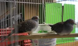 Pure white young Ringneck doves--$7 each and young colored Ringneck doves--$5 each. Tame and healthy..