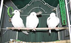 Young white doves. You can see parents. Beautiful coo-ers Make wonderful bird pets. very friendly. will sit on your finger