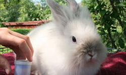 I have two male pure white lionhead bunnies, some bantam roosters, and two beautiful super friendly 5 month old goats, both females.... asking $10 per bunny, $5 rooster and $99 per goat.... call 978-766-7791
