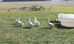 Duck - 27 Ducks - Medium - Young - Bird We currently have 27 ducks looking for forever homes. We have mallards and plain white ducks available. The adoption fee is a donation of the adopters choice. You can pick and choose if you don't want them all. We