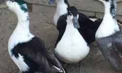 We have 2 male ducks that need a new home or homes. We are asking $15 each. Not sure of the breed (possibly Magpie) and not to been eaten. Please call (leave a message if no answer) or text, Angela.