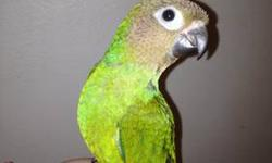 Conures are very sweet birds and can be really funny full of character guys. They can learn to talk. This bird is a for sure shoulder bird. Very cute, sweet baby. READY TO GO HOME NOW.CALL OR TXT ANYTIME 618-406-2017 will be weaned to a healthy diet of