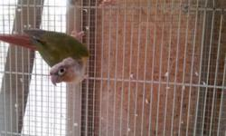 Dusky Headed Conure pair proven male and female pair ,3yrs old not tame,outdoor raised beautiful pair. Asking $600 for the conure pair or may do a equal or partial trade for cockatiels. Please bring a carrier. I will only meet in a public area. Call or