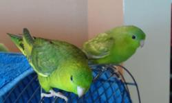 Dutch blue lovebirds. 3 hand fed baby's Born April of this year . I am re homing a baby lovebird and will come with a starter cage and food to get you started for $100. Or if you just want a baby I am asking $85. no cage. (La Vale MD)