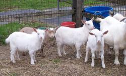 Herd reduction! I have about 15 female dwarf goats and I need to sell some. All are between the ages of 3 and 6 and all are breeding stock, some may be pregnant but no guarantee, the buck has been in with them since mid Oct. All colors, most are either
