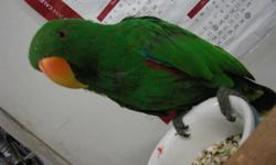 eclectus male, 4 years old, tame and talk, full feathers nice bright colors, perfect conditions, good with kids, $875.00 tambien hablo espanol for more info call 818 636 434o PLEASE NO TEXTS NO TEXTS