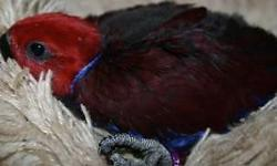I have 1 handfed eclectus baby ready to go and 3 more that are being handfed, which will need another 3 months in or order to go home. The one ready to leave is a female (Red), she was handfed by me at 2 weeks of age. She loves to make sounds and seems