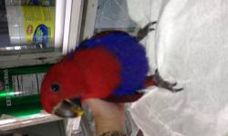 SALE SALE SALE!!!! i have 1 baby female eclectus salomon island red sided. very beautifull colors red and blue 3 months old still on 1 handfeeding per day only for more info please call or text 646-543-6296