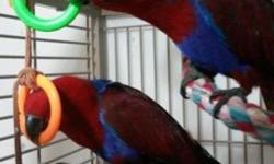Have a sol eclectus to sell I have allergies so as much as I hate to. She is very friendly and loves to be held.
