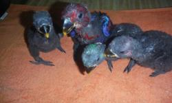 Eclectus Male baby available. Please contact me with any questions https://www.facebook.com/PoconoAna