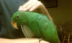 8 months old eclectus very very friendly with kids and adults with cage for more info call or text Ablo español