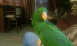 Handfed baby eclectus parrot ready for loving home. 918 704 0901 This ad was posted with the eBay Classifieds mobile app.