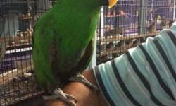 Male Electus Parrot..9 months and very tame..He is talking, learning new words and sounds. He is eating pellets,fresh fruit and vegetable ..call 619-980-5909 $975