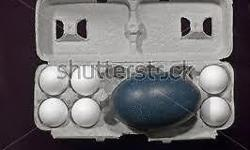 WINTER IS COMING, SO MY EMUS WILL START TO LAID EGGS FROM NOV - FEB, EVERY 3-4 DAYS, IF YOU INTERESTED HAVE SOME EGGS FOR DECOR, ART WORK OR JUST DISPLAY, THEY ALSO VERY TASTY AS FOOD TOO, PRICE ON EGG IS $10 EACH, IF YOU GET 8 OR MORE GET 1 FREE, WANT