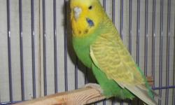 Female cinnamon green, pure bred. She is an adult for $32.00. Baby budgies will be available in 2-3 weeks at $39.00 each. Call for an appointment to see and reserve your baby English Budgie. Call 352-390-0590