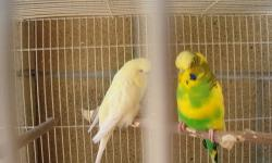 Male Dominant Pied English Budgie. Good Size and approximately 10 Months old.. PLEASE***** only serious inquiries Price is non negotiable This ad was posted with the eBay Classifieds mobile app.