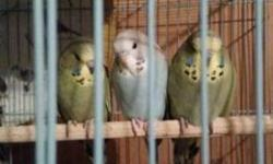I have a few baby English budgie parakeets for sale they are 2 months old, asking for a small fee of 45 each They will make perfect pets or breeders father is a grey green on far left and mom is an albino Call or txt 323 7754877 (hablo Español )