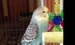 "BEAUTIFUL 'VIOLET' BABY ENGLISH BUDGIE. MALE - 6 weeks old. Violet body, yellow face, nice ""necklace"" spots. Solid bird of good size. Home raised with lots of love, in a very clean garden aviary. Hand friendly. $50 adoption fee. Cash only. References"