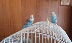 Handfed baby English Budgies just weaned on Feb 12. Two adorable turquoise feathered babies and the third baby has blue feathers with violet factor. $60.00 for each budgie. If interested please call 269 9445713.