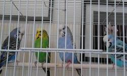 Good sized English Budgies. Young 6mos to 9 mos old. $ 25 each. more . Call email or text welcome 508-410-6984 thank you