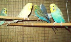 I have a surplus of English Budgies, Gold faces in violet and sky violet and sky ....opalines and normals. I also have a Muave prvn male the birds for sale are captioned ....if you are looking for a certain color let me know these are just a few of what I