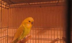 I have 2 English Budgies under a year old 1 yellow and 1 blue $75.00 for the pair or $40.00 each. If Interested Please Call me at 316-880-239three