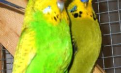I have about 15 pure English budgies for sell... I'm selling them very cheap cause I mostly have only greens and greys available For pictures and more info text me @ 508 283 0641 I also have 3 green baby's and they were hand fed so they are very friendly