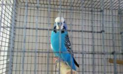 English Budgies Macho azul 50 Pareja macho verde y hembra amarilla 50 cada uno Cacatillo macho gris $20 This ad was posted with the eBay Classifieds mobile app.