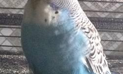 Hello, I?m trying to reduce my aviary of English Budgies (Exhibition Type), so decided to place on sale some of my birdies. I?m selling beautiful English Budgies (Exhibition Type) male/female. I have different variety of colors - blue, violet, green,