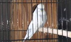 I have 3 big beautiful English budgies for sale 1 proven pair 1 proven male 150.00 for all or trade for other birds no lovebirds, cockatiels, or finches 863-738-3836