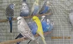English Budgies for sale $50, each downsizing my stock, i have all the colors that you need. They are healthy and pretty. i also have parakeets that are $15 each and cocktails that are $55. if you are interested please call me or email me. ONLY SERIOUS