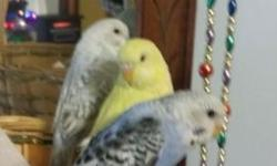 I have two young english budgies for sale. Both were hand-fed but would be better breeders. Very big english birds! I am asking $50 each. Located in Greenfield/Milwaukee area.
