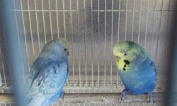 Parent and 2 babies, $25/each. If buy all 4 will give better deal, or will trade for grasskeet.